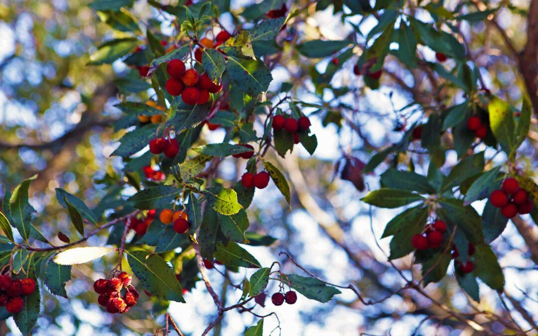 Il corbezzolo, arbusto della macchia mediterranea.